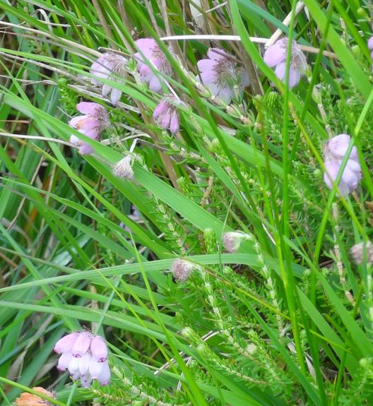 cross-leaved heath