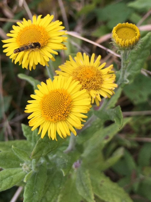 common fleabane