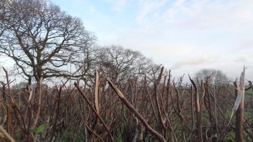 winter-hedge