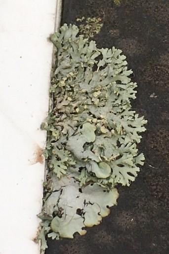 car-lichen-1