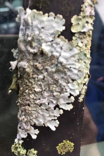 car-lichen-2