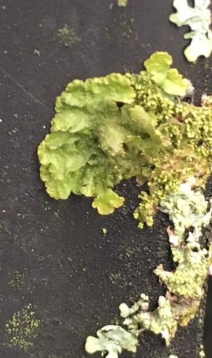 car-lichen-3