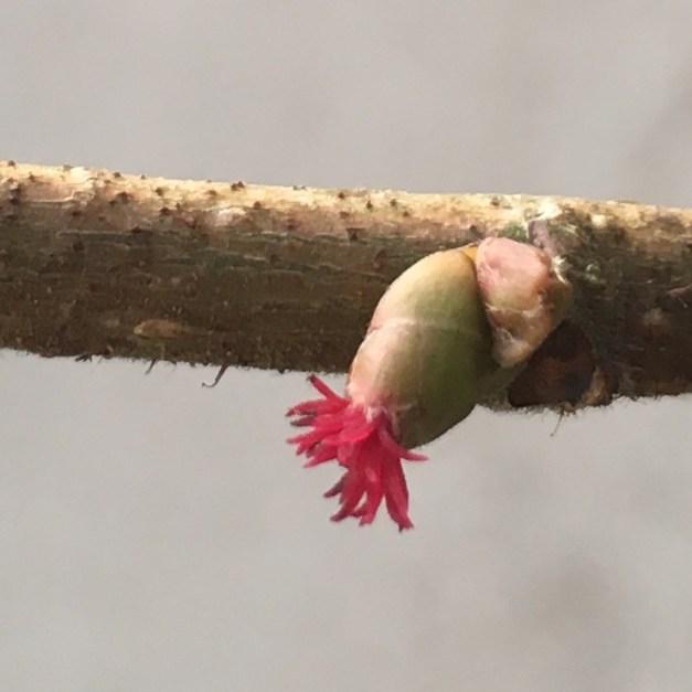 female hazel flower