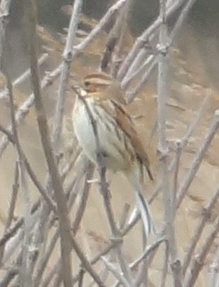 female reed bunting 2