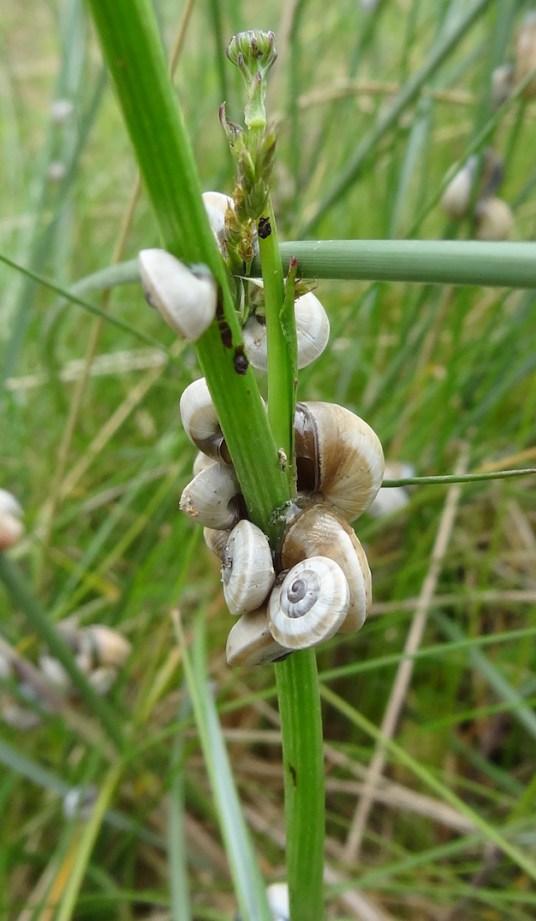 snailplant