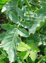 sea radish leaf