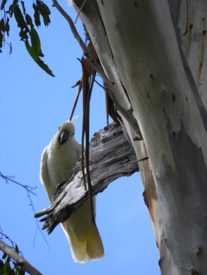 Being watched by a Sulphur-crested Cockatoo