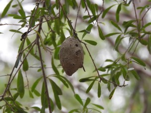 ? Gall or nest