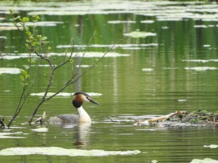Great-crested Grebe