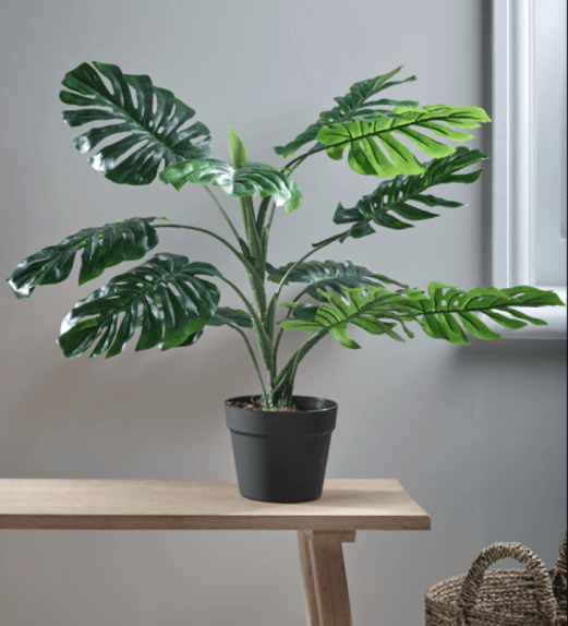Small Monstera Plant