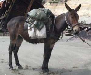 800px-Juancito pack mule wikipedia public domain