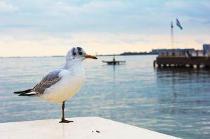 800PX-~1 seagull wikipedia public domain