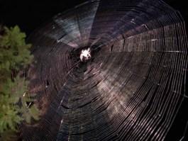 Spider Web wikipedia public-domain
