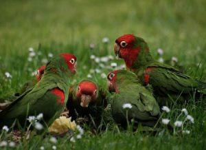 https://commons.wikimedia.org/wiki/File:Aratinga_erythrogenys_-San_Francisco_-feral_parrots_eating_apple-8.jpg