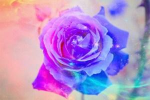 colouredrose