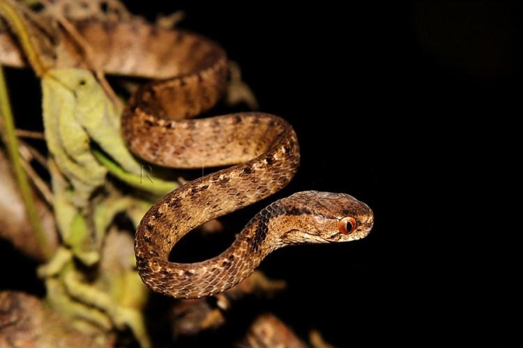 jenis ular di Indonesia