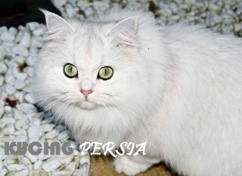 cara memelihara kucing persia dengan mudah