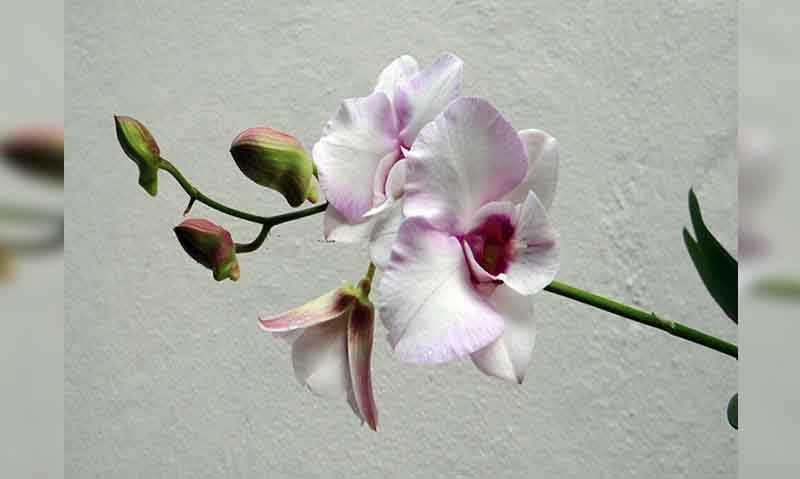 ciri ciri bunga anggrek