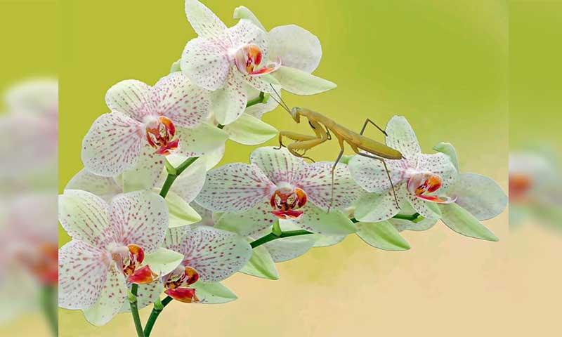 35+ Jenis Bunga Anggrek yang Ada di Indonesia Lengkap dengan Gambar dan Penjelasannya