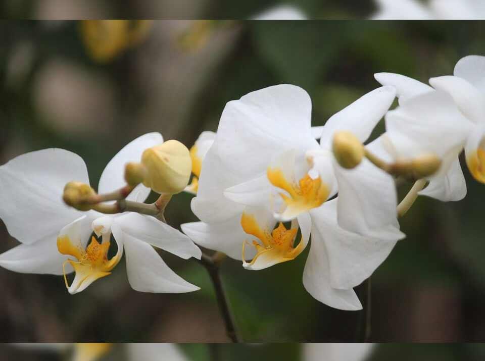 Download 88 Gambar Bunga Anggrek Beserta Penjelasannya HD Terbaru
