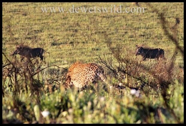 Leopard stalking warthogs