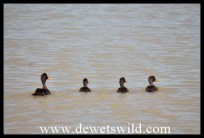 Yelow-billed Ducks