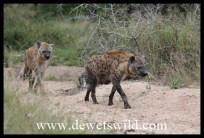 Hyenas on the move
