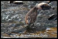 Hamerkop catching supper