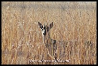 Common duiker in the game park at Midmar