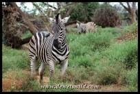Plains zebra, Pafuri