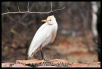 Cattle egret, Pafuri