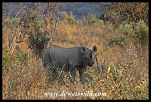 Black Rhino (6)