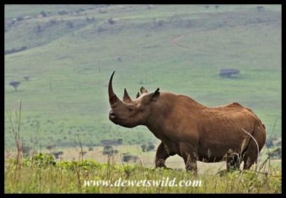 Black Rhino (9)