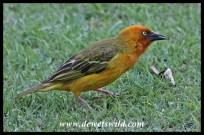 Cape Weaver male