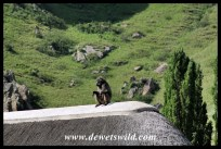 Baboons often pass through camp looking for scraps and stealing from the accommodation units