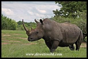Mature white rhino bull