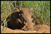 Mommy warthog trying to shoo away the curious humans
