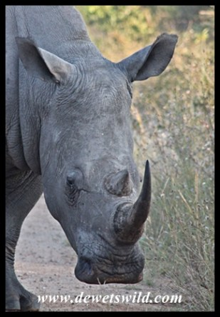 White Rhino (6)