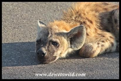 Lazy hyena cub