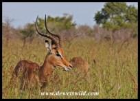 Impalas at the Rabelais Pan