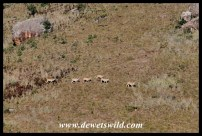 Eland on a distant slope