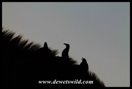 Red-billed oxpeckers on a giraffe's back