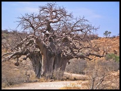 Baobab, Mapungubwe (near Leokwe)