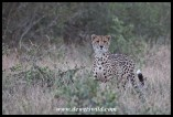 You may be lucky to see a cheetah near Orpen
