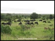 Herds of wildebeest abound near Orpen