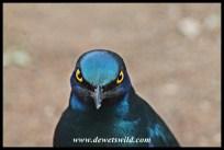 Starling at Tshokwane Picnic Spot