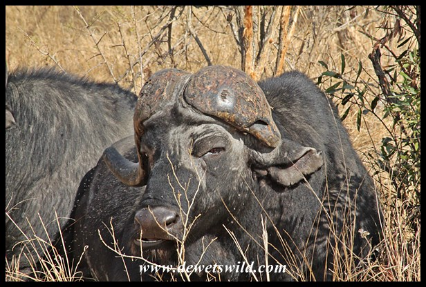 Buffalo with malformed horn