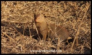 Slender mongoose at Girivana waterhole