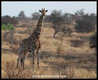 Giraffe near Ngotso Dam