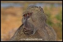 Male baboon